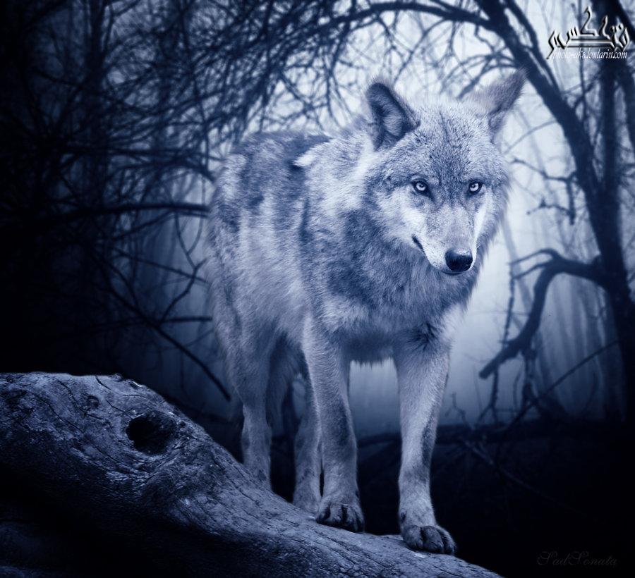 تعبیر خواب گرگ خاکستری , تعبیر خواب گرگ , تعبیر خواب گرگ سیاه , گرگ در خواب دیدن